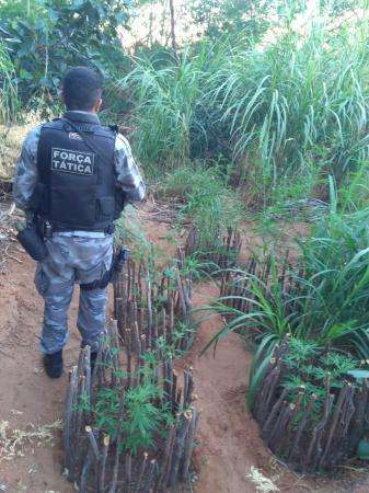Força Tática destrói plantação de maconha em Queimada Nova
