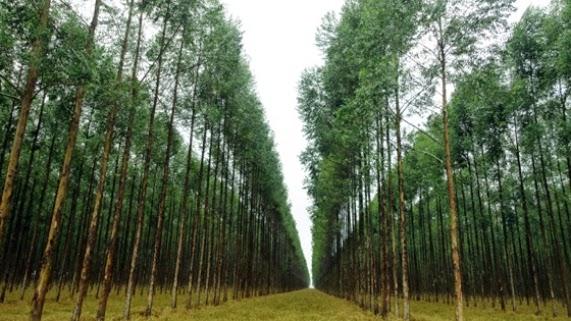 MP investiga danos causados por plantações de eucaliptos no PI